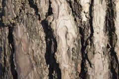 πεύκο φλοιών Στοκ Φωτογραφία