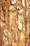 πεύκο φλοιών Στοκ εικόνα με δικαίωμα ελεύθερης χρήσης