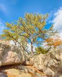 Πεύκο φρουρών, βράχος λύκων, πάρκο βουνών Catoctin, MD στοκ εικόνες