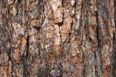 Πεύκο φλοιών δέντρων Στοκ Εικόνα