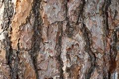 Πεύκο φλοιών δέντρων Στοκ φωτογραφίες με δικαίωμα ελεύθερης χρήσης