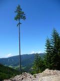 πεύκο ψηλό Στοκ φωτογραφία με δικαίωμα ελεύθερης χρήσης