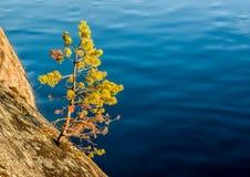 Πεύκο όχθεων της λίμνης Στοκ Εικόνες