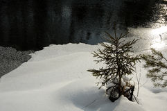 πεύκο Στοκ Φωτογραφίες