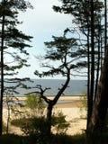 πεύκο Στοκ φωτογραφία με δικαίωμα ελεύθερης χρήσης