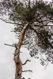 πεύκο Στοκ φωτογραφίες με δικαίωμα ελεύθερης χρήσης