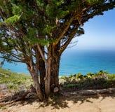 Πεύκο Monterey με το Ειρηνικό Ωκεανό, Montara, Καλιφόρνια Στοκ Φωτογραφίες