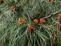 Πεύκο Pinaster ή θαλάσσιο πεύκο με τα λουλούδια Στοκ Εικόνες