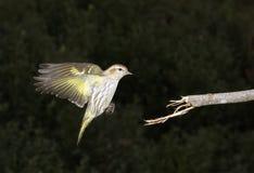 Πεύκο siskin (πεύκο Carduelis) που προσγειώνεται Στοκ Φωτογραφίες