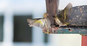 Πεύκο Siskin finches (πεύκο Carduelis) - την άνοιξη που ανταγωνίζεται για το διάστημα και τα τρόφιμα σε έναν τροφοδότη ξύλα ενός  Στοκ Εικόνες