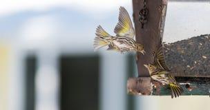 Πεύκο Siskin finches (πεύκο Carduelis) - την άνοιξη που ανταγωνίζεται για το διάστημα και τα τρόφιμα σε έναν τροφοδότη ξύλα ενός  Στοκ φωτογραφία με δικαίωμα ελεύθερης χρήσης