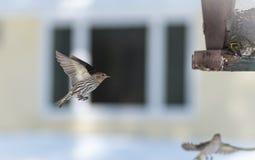 Πεύκο Siskin finches (πεύκο Carduelis) - την άνοιξη που ανταγωνίζεται για το διάστημα και τα τρόφιμα σε έναν τροφοδότη ξύλα ενός  Στοκ Φωτογραφίες