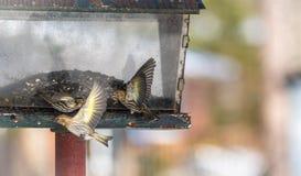 Πεύκο Siskin finches (πεύκο Carduelis) - την άνοιξη που ανταγωνίζεται για το διάστημα και τα τρόφιμα σε έναν τροφοδότη ξύλα ενός  Στοκ Εικόνα