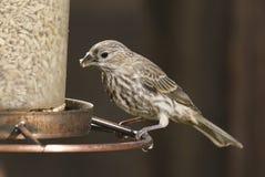 Πεύκο Siskin Spinus πεύκων που τρώει σε έναν τροφοδότη πουλιών Στοκ Εικόνα