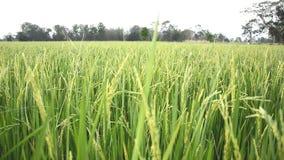 Πεδία ρυζιού στην επαρχία απόθεμα βίντεο