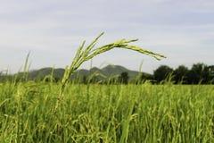 Πεδία ρυζιού στην Ταϊλάνδη Στοκ εικόνα με δικαίωμα ελεύθερης χρήσης
