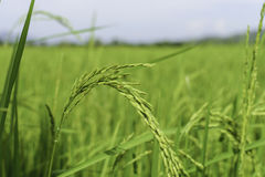Πεδία ρυζιού στην Ταϊλάνδη Στοκ Εικόνα