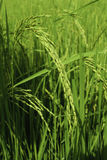 Πεδία ρυζιού στην Ταϊλάνδη Στοκ φωτογραφία με δικαίωμα ελεύθερης χρήσης