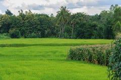 Πεδία ρυζιού στοκ φωτογραφίες με δικαίωμα ελεύθερης χρήσης