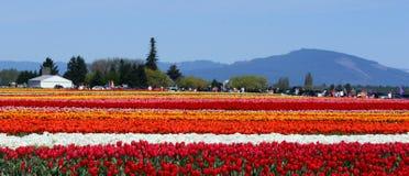 Πεδία τουλιπών Πολύχρωμα λωρίδες των λουλουδιών Στοκ εικόνα με δικαίωμα ελεύθερης χρήσης