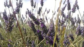 πεδία lavendar Στοκ Φωτογραφία