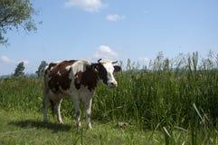 πεδίο αγελάδων Στοκ φωτογραφία με δικαίωμα ελεύθερης χρήσης