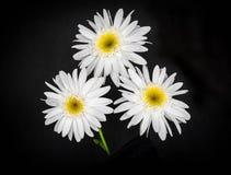 πεδίο βάθους μαργαριτών απότομα πολύ άσπρο Στοκ Φωτογραφία