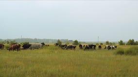 πεδίο βοοειδών φιλμ μικρού μήκους