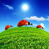 πεδίο πικραλίδων ladybug Στοκ φωτογραφία με δικαίωμα ελεύθερης χρήσης
