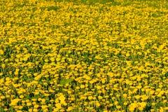 πεδίο πικραλίδων κίτρινο Στοκ Εικόνες