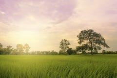 Πεδίο ρυζιού με το ηλιοβασίλεμα Στοκ Φωτογραφίες