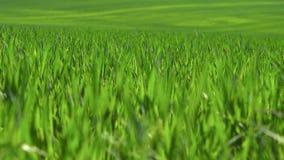 Πεδίο της πράσινης χλόης φιλμ μικρού μήκους