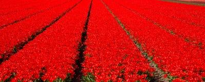 Πεδίο τουλιπών Κόκκινες τουλίπες λουλούδι πεδίων Στοκ Φωτογραφίες