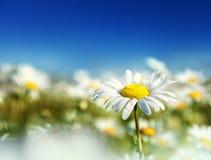 Πεδίο των λουλουδιών μαργαριτών Στοκ φωτογραφία με δικαίωμα ελεύθερης χρήσης