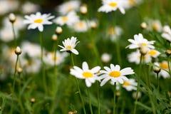 Πεδίο των λουλουδιών μαργαριτών Στοκ Φωτογραφίες