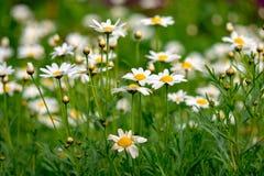 Πεδίο των λουλουδιών μαργαριτών Στοκ Φωτογραφία