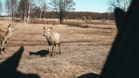 πεδίο φθινοπώρου Κοπάδι των ελαφιών και των μικρών fawns που βόσκουν σε ένα λιβάδι Τα όμορφα καφετιά θηλαστικά ταΐζουν τη χλόη απ απόθεμα βίντεο