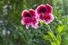Πελαργόνιο λουλουδιών Στοκ εικόνα με δικαίωμα ελεύθερης χρήσης
