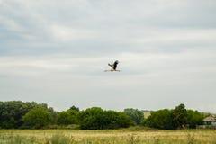 Πελαργός κατά την πτήση Στοκ φωτογραφία με δικαίωμα ελεύθερης χρήσης