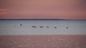 Πελεκάνοι δεξιά μετά από τον κόλπο του ST Josephs ηλιοβασιλέματος Στοκ Φωτογραφία