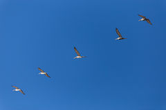 Πελεκάνοι που πετούν στο σχηματισμό Στοκ εικόνα με δικαίωμα ελεύθερης χρήσης