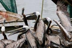 Πελεκάνοι που σκαρφαλώνουν στην πλευρά της βάρκας που περιμένει τα τρόφιμα Στοκ φωτογραφία με δικαίωμα ελεύθερης χρήσης