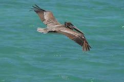 Πελεκάνος με τα φτερά του που επεκτείνονται πέρα από τα τροπικά νερά Aruban Στοκ φωτογραφία με δικαίωμα ελεύθερης χρήσης