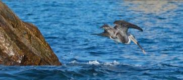 Πελεκάνος που βουτά στο νερό για ένα ψάρι κοντά στο Los Arcos/το τέλος εδαφών σε Cabo SAN Lucas Baja Μεξικό Στοκ Εικόνες
