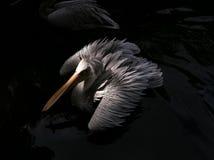 Πελεκάνος που επιπλέει στη λίμνη στοκ φωτογραφία με δικαίωμα ελεύθερης χρήσης