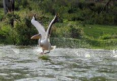 Πελεκάνος που διαδίδει τα φτερά του για να πετάξει Στοκ Εικόνα