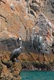 Πελεκάνος που σκαρφαλώνει στο Los Arcos (τέλος εδαφών) σε Cabo SAN Lucas Baja Μεξικό Στοκ Φωτογραφία