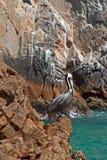 Πελεκάνος που σκαρφαλώνει στο Los Arcos (τέλος εδαφών) σε Cabo SAN Lucas Baja Μεξικό Στοκ εικόνες με δικαίωμα ελεύθερης χρήσης