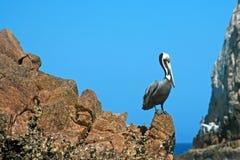 Πελεκάνος που σκαρφαλώνει στο Los Arcos (τέλος εδαφών) σε Cabo SAN Lucas Baja Μεξικό Στοκ Φωτογραφίες
