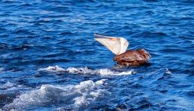 Πελεκάνος που τρώει και που καταπίνει κάτω από ένα πρόσφατα πιασμένο ψάρι κοντά στο Los Arcos/το τέλος εδαφών σε Cabo SAN Lucas B Στοκ Εικόνες